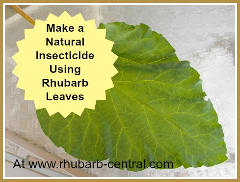 Rhubarb Leaf - Rhubarb Leaves Used for Natural Insecticide