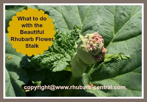 Rhubarb Seed Pod /Flower Stalk Image