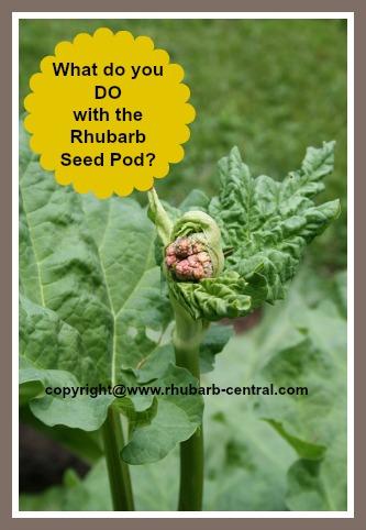 Tall Stalk in Rhubarb - seed pod