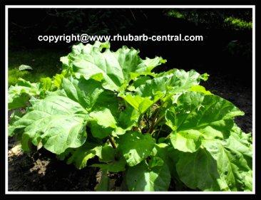 Transplanting Rhubarb Plants How To Divide/Propagate