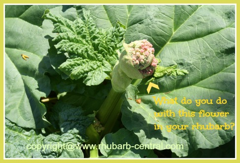 Picture of Rhubarb Flower Stalk or Seed Pod