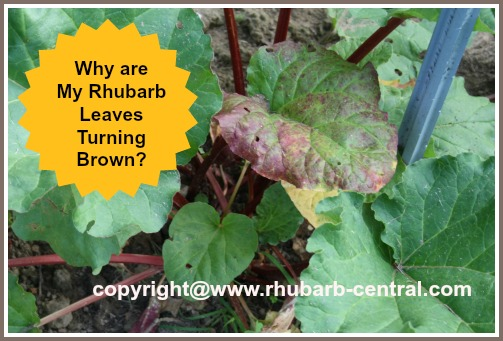 Rhubarb Leaves Turning Brown