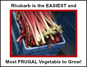 Rhubarb is the Easiest and the Most Frugal Veggie to Grow