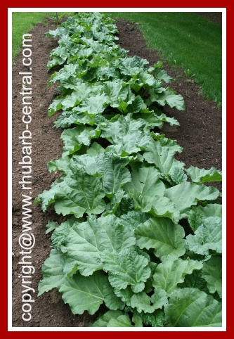 Growing Rhubarb in the Garden