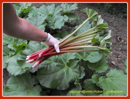 Cutting Rhubarb