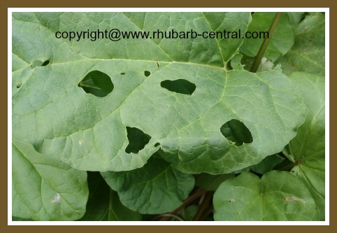 Holes in Rhubarb Leaves Slug Damage Rhubarb Pest