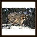 How to Keep Racoons Away with Natural Repellant - Recipe
