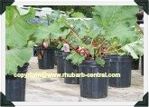 Potted Rhubarb for sale at Rosy Rhubarb Festival in Shedden, Ontario