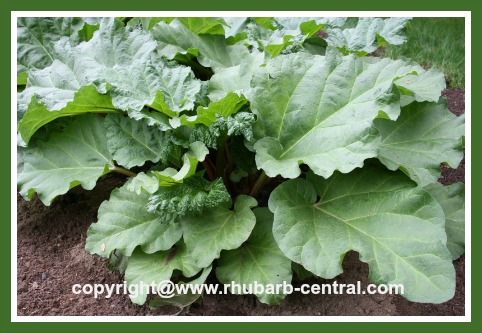 Rhubarb plant care how to care for rhubarb composting for Plants that need little care