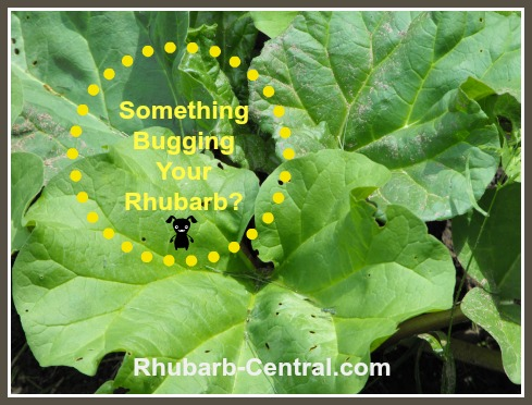 Rhubarb Pests - Rhubarb Plant Garden Pests and Control/ Problems