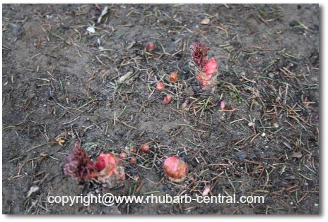 Picture of Rhubarb Plants Emerging from the Ground in Early Spring